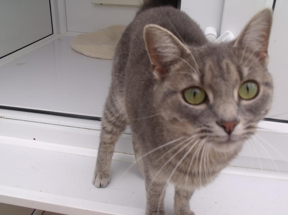 cat scratch fever treatment in humans